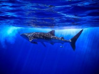 whale shark copy